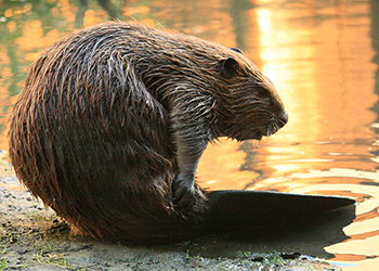 Easton Wildlife Removal Beavers