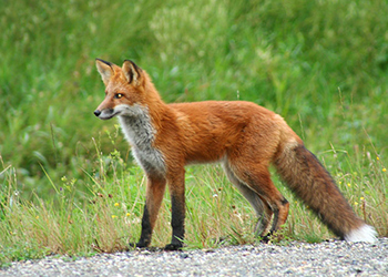 Easton Wildlife Removal Foxes