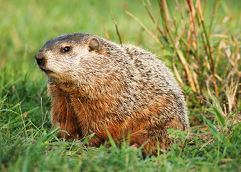 Easton Wildlife Removal Ground Hog