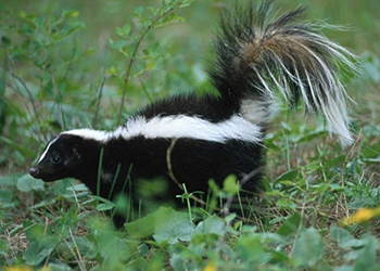 Easton Wildlife Removal Skunk