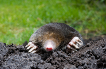 Easton Wildlife Removal Moles
