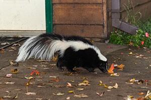 Striped Skunk (Mephitis mephitis) Walks Near Home - captive animal