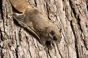 Southern flying squirrel clinging to a tree at night in southeastern Illinois